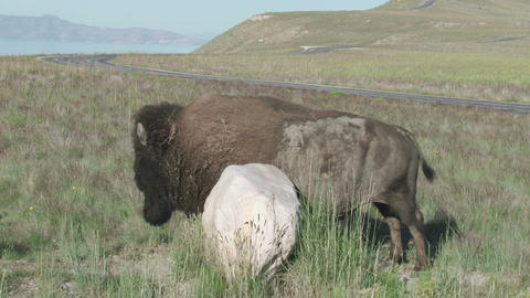 Buffalo In The Spring stock footage