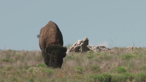 Buffalo foraging Footage