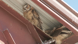 Great Horned Owl Footage