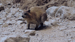 Rock hyrax at Ein Gedi oasis walks around Footage