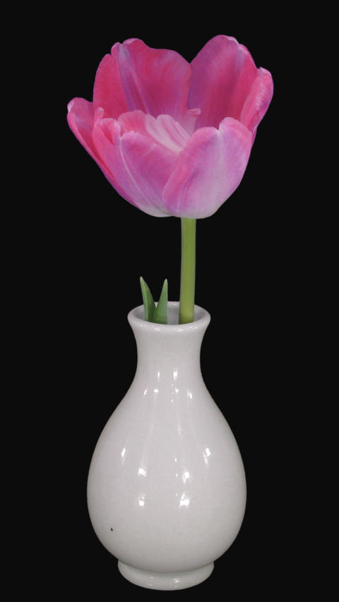 Time-lapse of opening mixed color tulips with ALPHA channel, portrait Footage