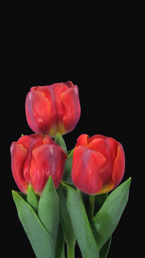 Time-lapse of opening red tulips with ALPHA channel, portrait ภาพวิดีโอ