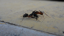 Two Ants Having A Serious Battle (2) stock footage
