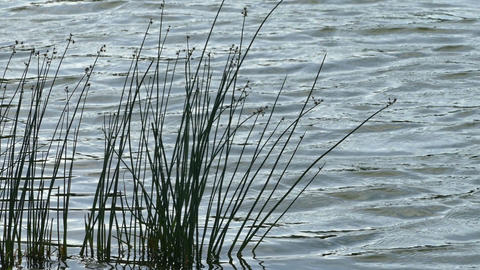 The water in the lake and the green reeds day hd Footage