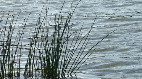 The water in the lake and the green reeds day hd Stock Video Footage