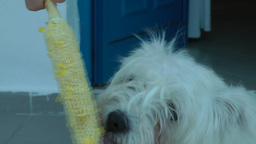 Dog eats corn Footage