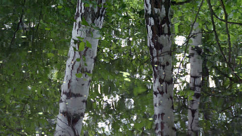 The water in the lake, reflection Russian birches Footage
