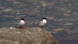 Arctic Tern (Sterna Paradisaea) Couple stock footage