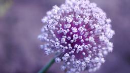 Onion (Allium cepa) Flower, Gray Background Footage