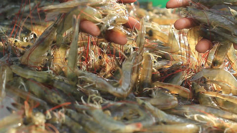 Product White-leg Shrimp Form Farming In Pond stock footage