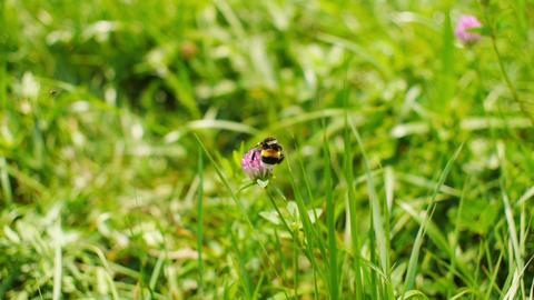 Bumblebee gathers pollen and flies away Footage