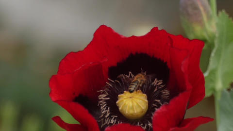 Slow motion of a honeybee pollinating poppy Footage