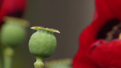 Seed Pot And Blossom Of Opium Poppy stock footage