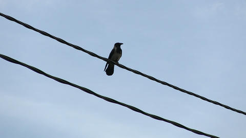 Crow On The Wire stock footage