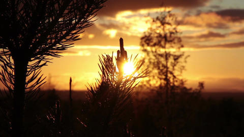 Pine Tree At Sunset stock footage
