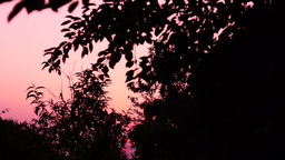 Sundown With Silhouettes Of Trees In Garden,Pink Light, Pan Footage