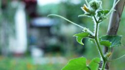 Organic, Flowering Cucumber( Cucumis sativus) on the Vine in Vegetable Garden Footage