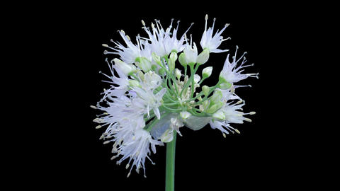 Time-lapse Of Opening Onion Flower Umbel In RGB + ALPHA Matte Format stock footage