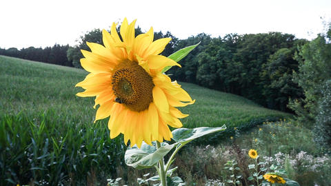 Sunflower blooming Footage