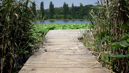 Wooden Pier On Lake With Reed And Lotus Leaf stock footage
