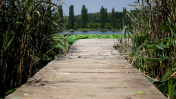 Wooden Pier On Lake With Reed And Lotus Leaf. Holiday Atmosphere stock footage