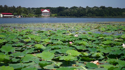 Lacustrine Landscape With Snipes,Lotus Flowers and Romanian Flag Footage