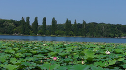 Lacustrine Landscape With Birds, Lotus Flowers And Peal Sound stock footage