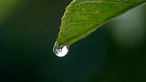 A drop on a leaf falls in large Footage
