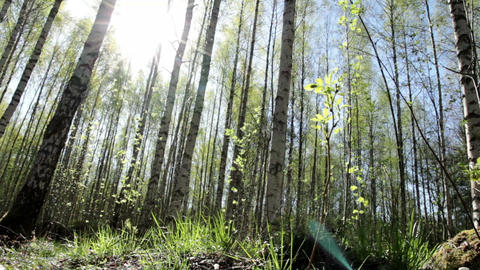 Sunny birch forest Footage
