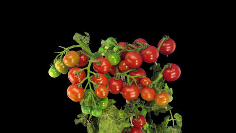 Time-lapse Of Growing And Ripening Tomato In RGB + ALPHA Matte Format stock footage
