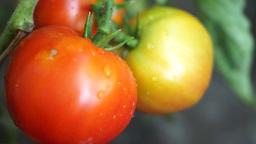 Organic Tomatoes In My Garden, After Rain, Tilt Footage