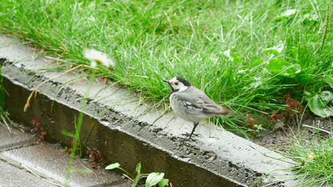 Wagtail bird Live Action