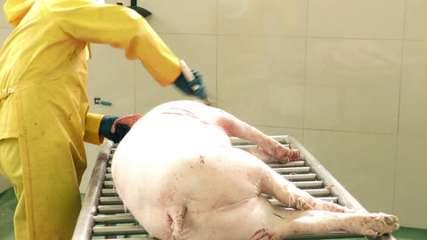 Manual pig scraping to remove leftover hair Footage