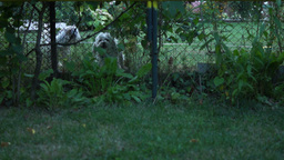 Two Cute Dogs Barking Behind The Fence Footage