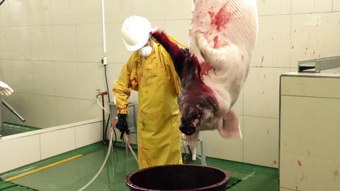 Pig bleeding and struggling in a slaughterhouse Footage