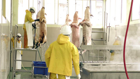 Authentic slaughterhouse daily routine Footage