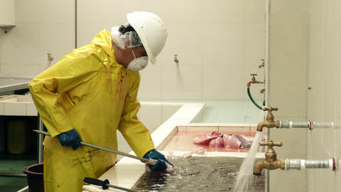 Swine Bowel Are Manually Turned Inside Out For Cleaning stock footage