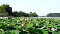 Lotus Flowers, Lake, Kayaks, Forest, Zen Footage