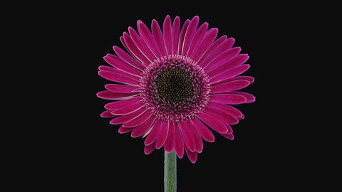 Time-lapse of opening pink gerbera flower in RGB + ALPHA matte format 이미지