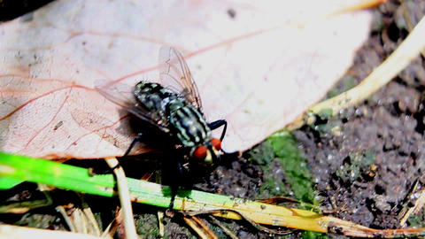 Fly Musca Close Up stock footage