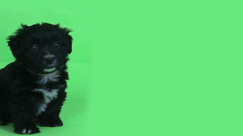young cute dog green screen Footage