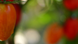Cherry, Organic, Delicious, Ripe Tomatoes In My Garden, Tilt, Changing Focus Footage