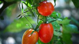 Cherry, Organic, Ripe Tomatoes In My Garden, After Rain, Tilt Footage