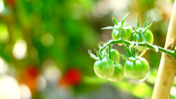 Cherry, Organic, Unripe Tomatoes In My Garden, Changing Focus Footage