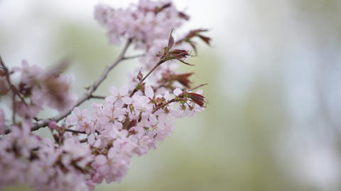 Branch of the blossoming sakura with pink flowers close up Footage