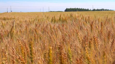 北海道 十勝 収穫時期の小麦畑 Footage