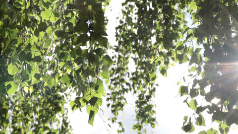 Sunny birch leaves Footage