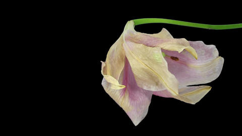 Time-lapse of opening and dying pink Longiflorum lily in RGB + ALPHA matte forma Footage