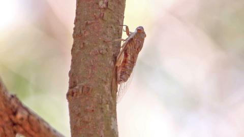 Cicadas singing on tree branch Live Action