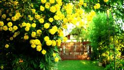 Yellow Dahlia in My Garden, Tilt Footage